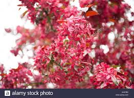 Profusion Flowering Crabapple - crab apple tree in bloom stock photos u0026 crab apple tree in bloom
