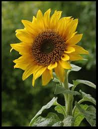 139 best sunflowers images on pinterest sunflowers sunflower