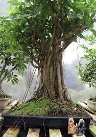 bonsai beginnings hawaiian schefflera umbrella tree