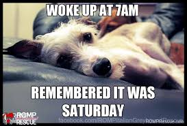 Funny Saturday Memes - italian greyhound memes part 1 romp italian greyhound rescue