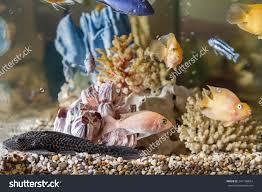 home aquarium fish parrots hypostomus plecostomus stock photo