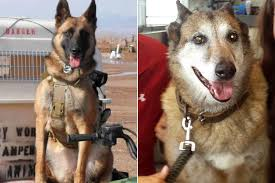 belgian sheepdog houston tx meet the 6 military dogs to be honored in veterans day parade