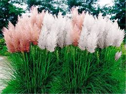 pas grass mix cortaderia selloana fast growing ornamental