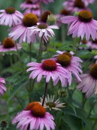 echinacea flower echinacea flower plant perennials