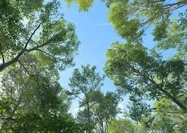 fagus sylvatica tree fagus sylvatica 3d max