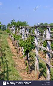 grape vines growing on trellis in thomas jefferson vegetable