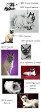 types of siamese cats shopping for a siamese so many colors so