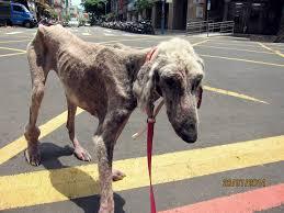 afghan hound kennel in australia afghan hound rescues dog