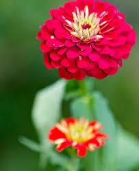 zinnia flowers zinnias