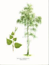 planche de bouleau 1933 forêt arbres forestiers feuillus bouleau chêne hêtre