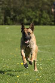belgian malinois police how to train the recall positive police dogs
