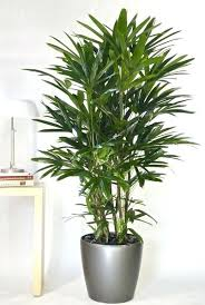 best low light house plants tall house plants tall indoor tree tree house plants low light