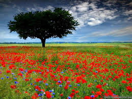 Flower Field Wallpaper - poppy field wallpapers crazy frankenstein