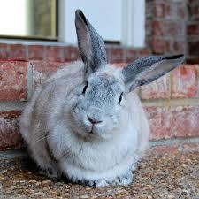 about house rabbit society house rabbit society