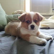 australian shepherd red heeler mix 10 times corgis mixed with other breeds and the result was