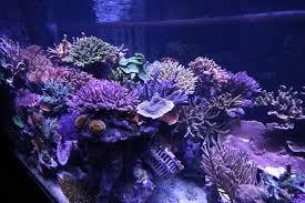 led lights for coral tanks coral gallery under orphek reef aquarium led orphek