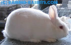rabbit breeds recognized usa arba