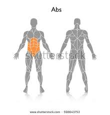 Human Body Muscles Images Human Muscle Stock Images Royalty Free Images U0026 Vectors