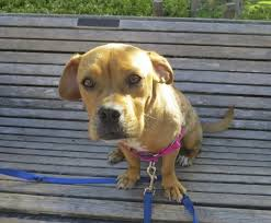 boxer dog mean dog of the day ginger the boxer beagle mix the dogs of san