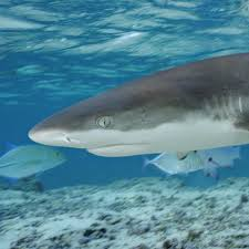 blacktip shark national geographic