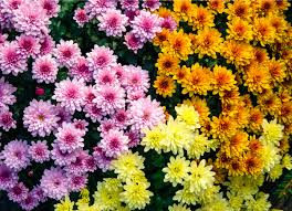 chrysanthemum allergy plant allergies 8 plants to never grow