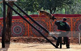 training a belgian sheepdog a belgian shepherd dog malinois leaps pictures getty images