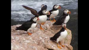 awesome beautiful atlantic puffin birds images youtube