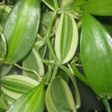 vanilla orchid vanilla orchid vanilla planifolia live plants here