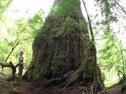 world s largest douglas fir tree the creek fir