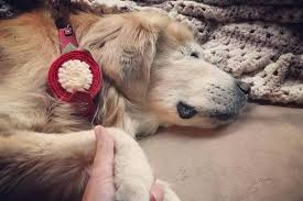 Pictures Of Blind Dogs Heartbreaking Image Shows Blind Therapy Dog U0027smiley U0027 Holding Hands