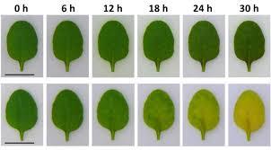 the gene of autumn colors eurekalert science news