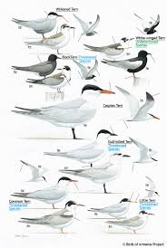 plate 33 terns a field guide to birds of armenia acopian