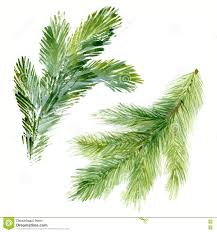 watercolor fir needle tree branches stock illustration