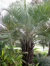 Palm Trees Fruit - 13 cold hardy palm trees hgtv