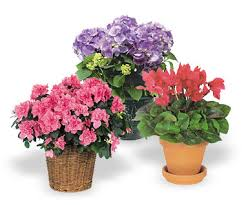 flowers and plants deluxe indoor flowering plant gift