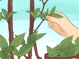 Bay Tree Topiary How To Grow A Bay Tree 7 Steps With Pictures Wikihow