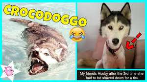 Funny Husky Memes - the funniest posts about huskies youtube