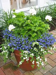 blue and white planter filled with white geranium the thriller