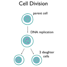 cell division u2013 icse solutions for class 10 biology