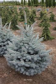 Nursery Plant Supplies by Picea Pungens Var Glauca U0027baby Blue Eyes U0027 Wholesale Nursery