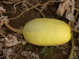 Squash Plant Diseases Pictures - how to grow winter squash harvest to table