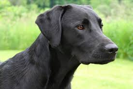 belgian shepherd easy to train tricks to train a black lab shepherd mix cuteness
