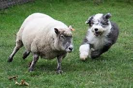 australian shepherd herding sheep how to choose the best dog for your colorado ranch ranch sellers