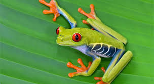 green tree frog national geographic