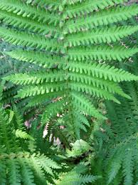 native plants of maryland maryland native plant society matteuccia struthiopteris