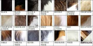 what color is sable hair color colours for registration havanese fanciers of canada