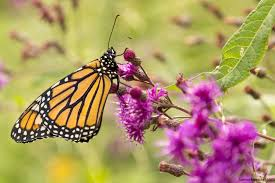 a visual journey through the monarch life cycle the national