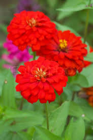 zinnia flowers zinnia flowers family compositae stock photo colourbox