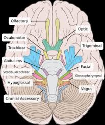 Exercise 17 Gross Anatomy Of The Brain And Cranial Nerves Spinal Accessory Nerve Injury Treatment U0026 Symptoms Study Com