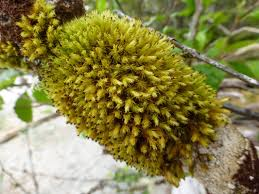 Pin Cushion Tree Frizzled Pincushion U2022 Ulota Phyllantha Biodiversity Of The